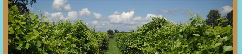 vineyards_07
